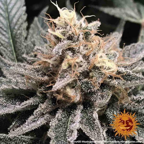 large_ayahuasca-purple_6_645144