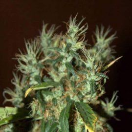 cbd mango-haze cannabisfrø