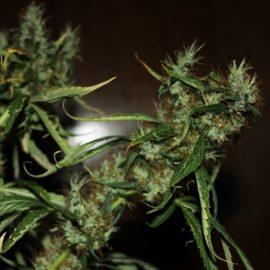 mango-haze CBD cannabisfrø