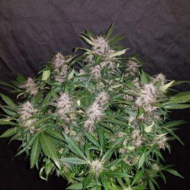 Auto Cannabisfrø C-4 Fast Buds