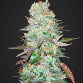 Auto Cannabisfrø G14 Fast Buds