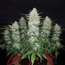 Auto Cannabisfrø Gelato Fast Buds