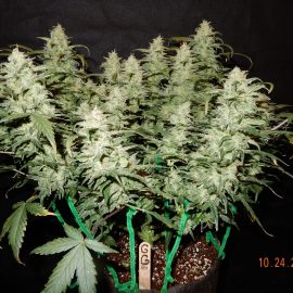 Auto Cannabisfrø Gorilla Glue Fast Buds