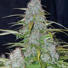 Auto Cannabisfrø Californian Snow Fast Buds