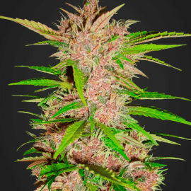 Auto Cannabisfrø Fastberry Fast Buds