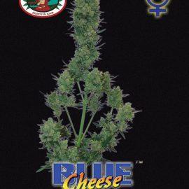 Auto cannabisfrø Blue Cheese Automatic Big Buddha
