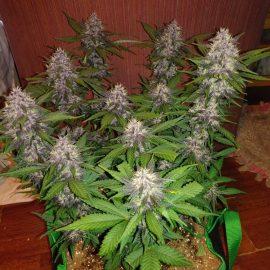 Auto cannabisfrø Crystal Meth Fast Buds