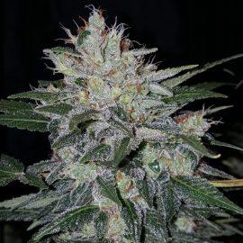 Auto cannabisfrø Master Kush Auto CPHseeds