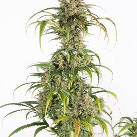 Auto cannabisfrø Amnesia OG Auto CPHseeds