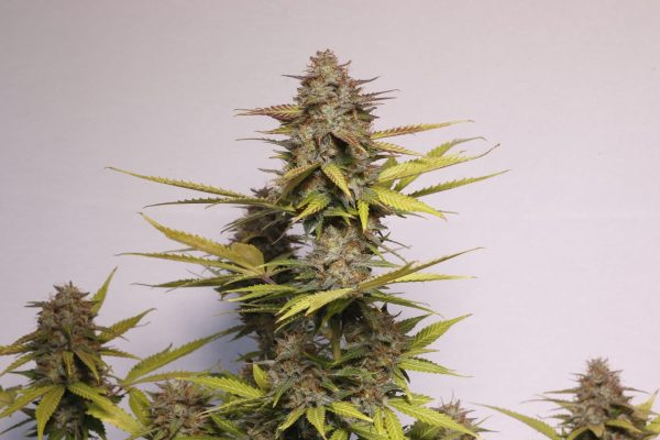 Auto cannabisfrø Black Widow Auto CPHseeds