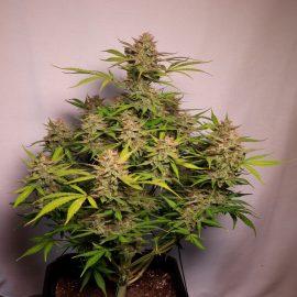 Auto cannabisfrø Snow Queen Auto CPHseeds (2)