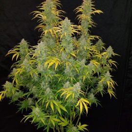 Cannabisfrø Blue Dream-matic Fast Buds