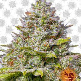 Cannabisfrø Blue Gelato 41 Barneys