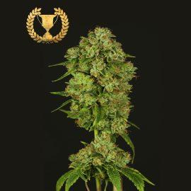 Cannabisfrø Casey Jones Devils Harvest