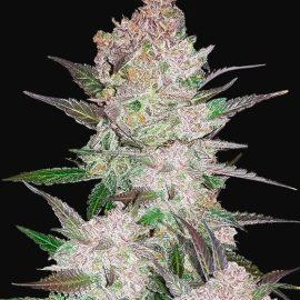 Cannabisfrø Cream Cookies Fast Buds