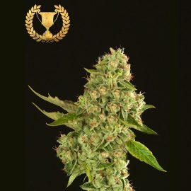 Cannabisfrø Kuchi Devils Harvest (4)