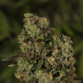 Cannabisfrø OG ReekN Devils Harvest (2)