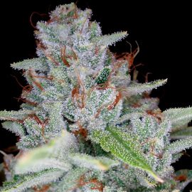 Cannabisfrø Skywalker Kush Reserva Privada
