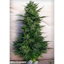 Cannabisfrø White Berry Paradise Seeds