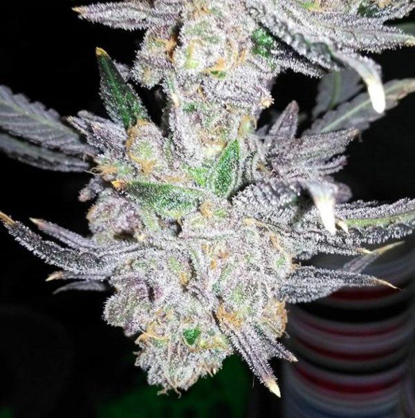 Cannabisfrø 9lb Hammer Subcool