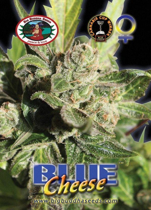 Cannabisfrø Blue Cheese Big Buddha