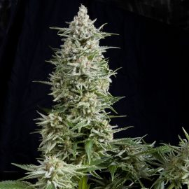 Cannabisfrø Pyramid Seeds Amnesia Gold Autoflowering 1