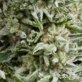 Cannabisfrø Pyramid Seeds Amnesia Gold Autoflowering