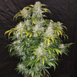Medicinsk cannabisfrø CBD Crack Auto Fast Buds