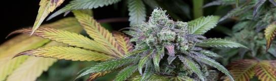 CBD cannabisfrø uden psykoaktiv effekt fra Dinafem