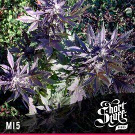 Cannabisfrø Auto Mi5 Short Stuff
