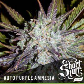Cannabisfrø Auto Purple Amnesia Short Stuff