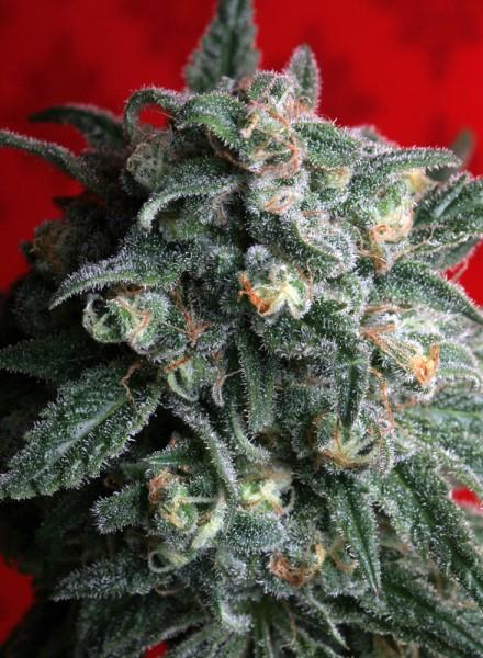 Cannabisfrø A-Train TH Seeds