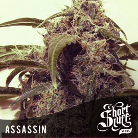 Cannabisfrø Auto Assassin Short Stuff