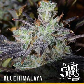 Cannabisfrø Auto Blue Himalaya Short Stuff 3