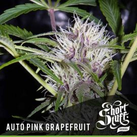Cannabisfrø Auto Pink Grapefruit Short Stuff