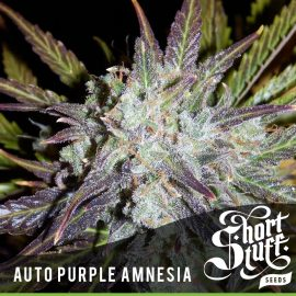 Cannabisfrø Auto Purple Amnesia Short Stuff
