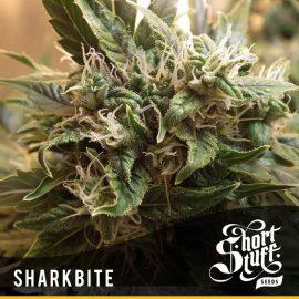 Cannabisfrø Auto Shark Bite Short Stuff 1