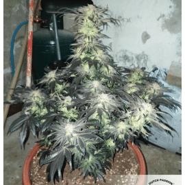 Cannabisfrø Bubba Island Kush Dutch Passion