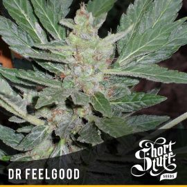 Cannabisfrø Dværg Auto Dr. Feelgood