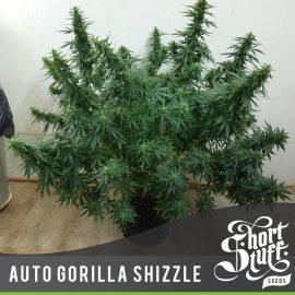 Cannabisplante Auto Gorilla Shizzle