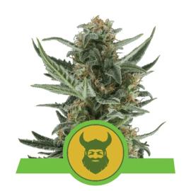 Skunkfrø Royal Dwarf cannabisfrø Royal Queen Seeds