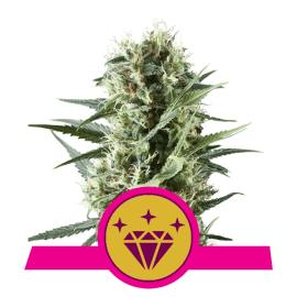 Skunkfrø Special Kush 1 cannabisfrø Royal Queen Seeds