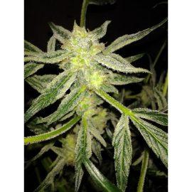 Dane Strains Auto Fruity regulære cannabisfrø