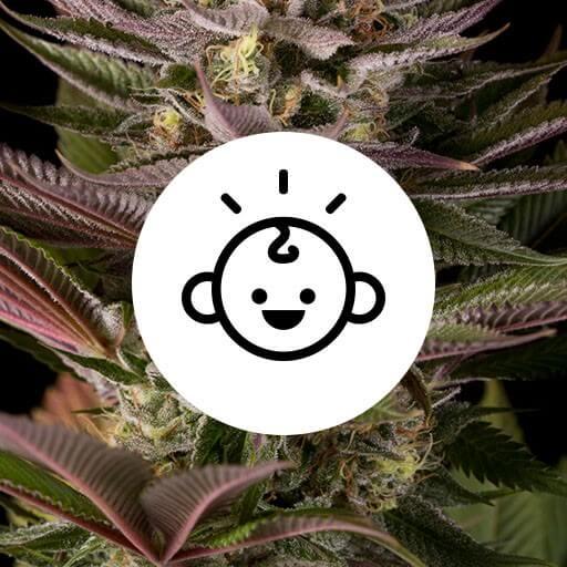 Bedste begynder skunkfrø cannabisfrø