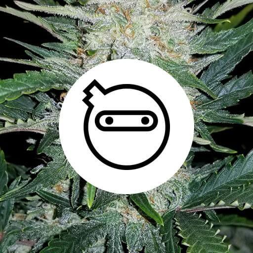 Diskrete cannabisfrø skunkfrø