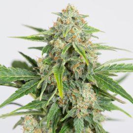 Medicinsk cannabis Skunkfrø Dinamed CBD Autoflowering