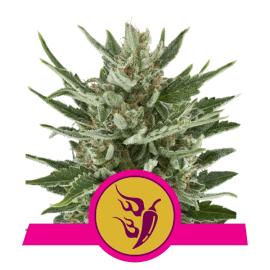 Skunkfrø Speedy Chile cannabisfrø Royal Queen Seeds