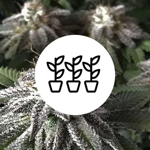 Skunkfrø cannabisfrø SOG