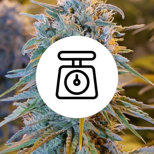 Skunkfrø cannabisfrø kæmpe høst