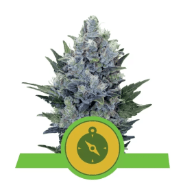 Skunkfrø Northern Lights Automatic cannabisfrø Royal Queen Seeds
